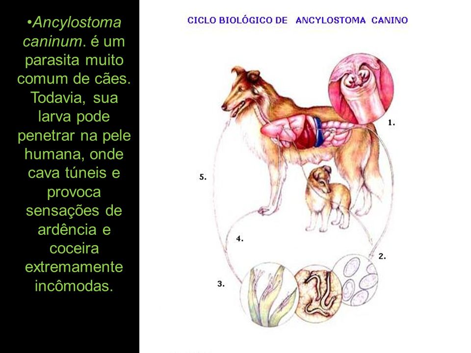 Ancylostoma caninum. é um parasita muito comum de cães. Todavia, sua larva pode penetrar na pele humana, onde cava túneis e provoca sensações de ardên
