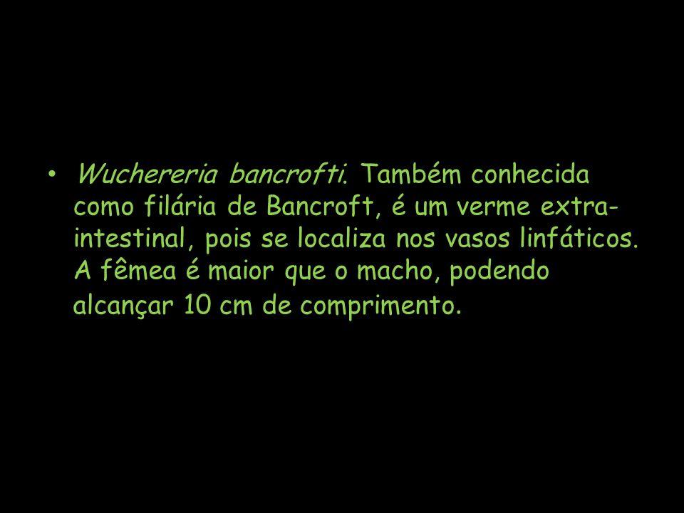 Wuchereria bancrofti. Também conhecida como filária de Bancroft, é um verme extra- intestinal, pois se localiza nos vasos linfáticos. A fêmea é maior