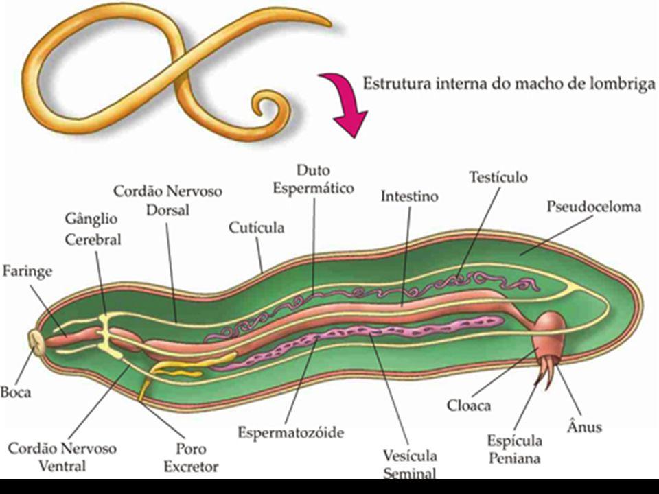 Dracunculus medinensis: causa o furúnculo, é transmitido através de água contaminada