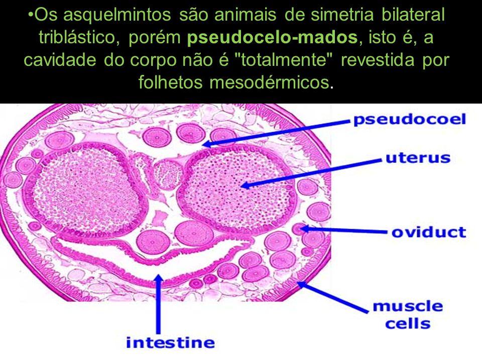 durante o qual a larva atravessa a parede do intestino, cai na circulação, vai ao fígado e depois aos pulmões, onde evolui parcialmente.
