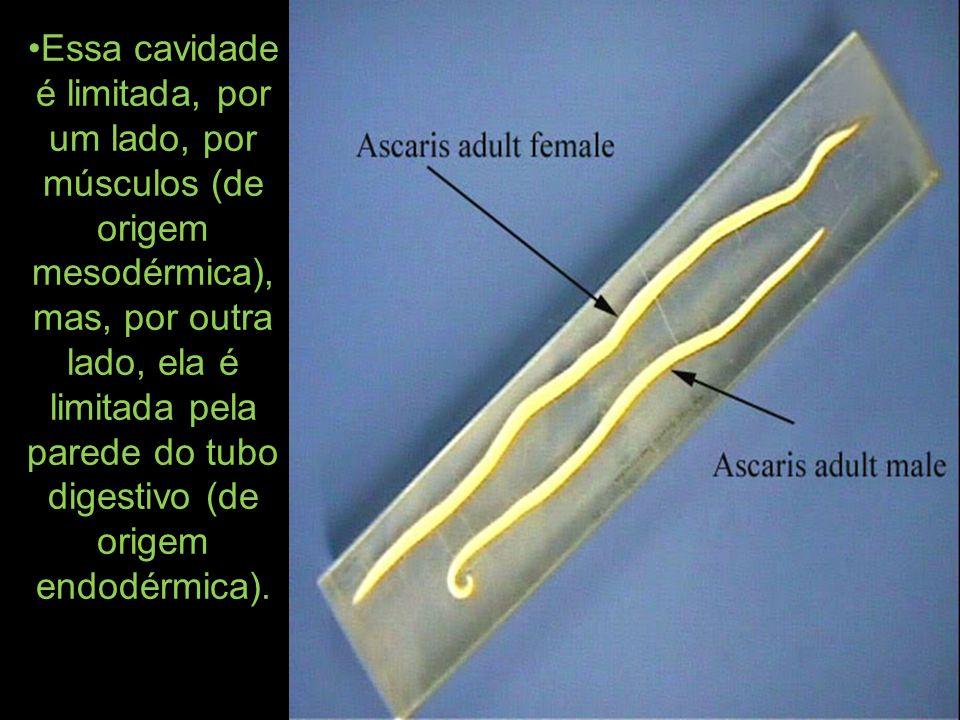Essa cavidade é limitada, por um lado, por músculos (de origem mesodérmica), mas, por outra lado, ela é limitada pela parede do tubo digestivo (de ori