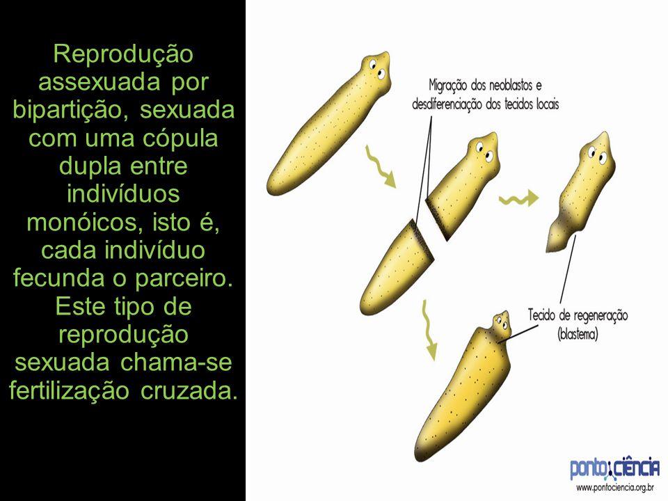 Reprodução assexuada por bipartição, sexuada com uma cópula dupla entre indivíduos monóicos, isto é, cada indivíduo fecunda o parceiro. Este tipo de r