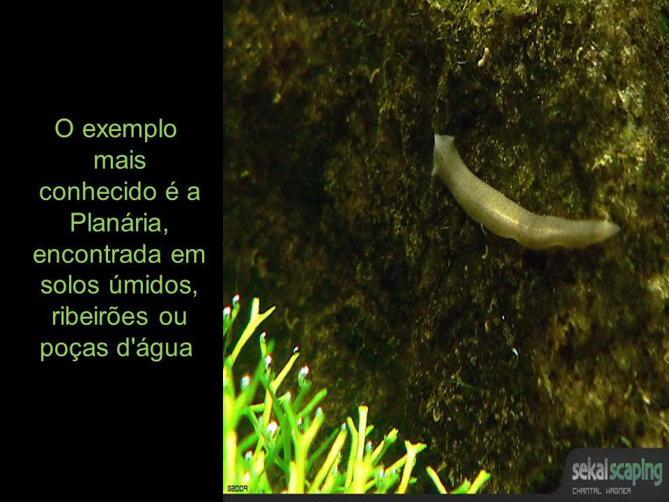 O exemplo mais conhecido é a Planária, encontrada em solos úmidos, ribeirões ou poças d'água.