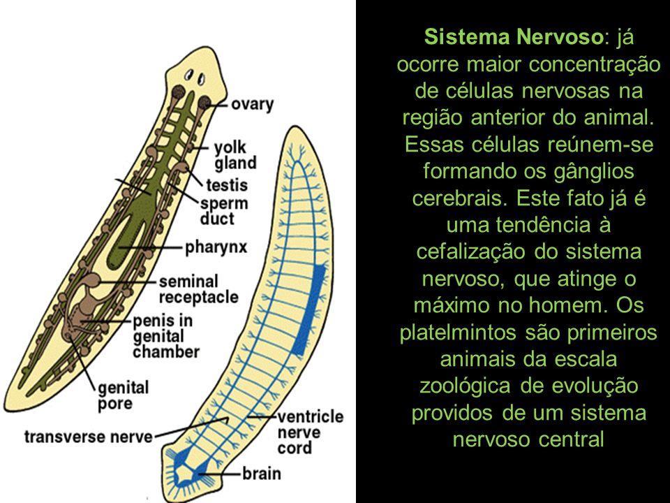 Sistema Nervoso: já ocorre maior concentração de células nervosas na região anterior do animal. Essas células reúnem-se formando os gânglios cerebrais