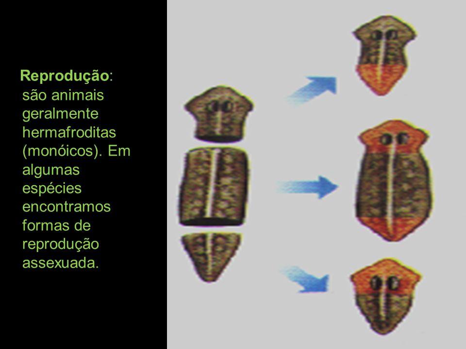Reprodução: são animais geralmente hermafroditas (monóicos). Em algumas espécies encontramos formas de reprodução assexuada.