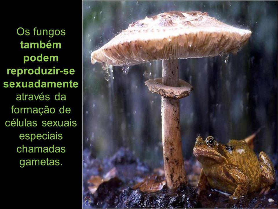 Os fungos também podem reproduzir-se sexuadamente através da formação de células sexuais especiais chamadas gametas.