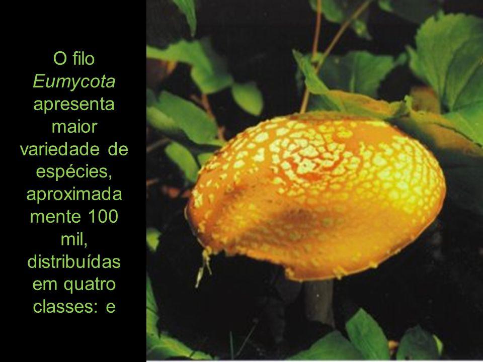 O filo Eumycota apresenta maior variedade de espécies, aproximada mente 100 mil, distribuídas em quatro classes: e