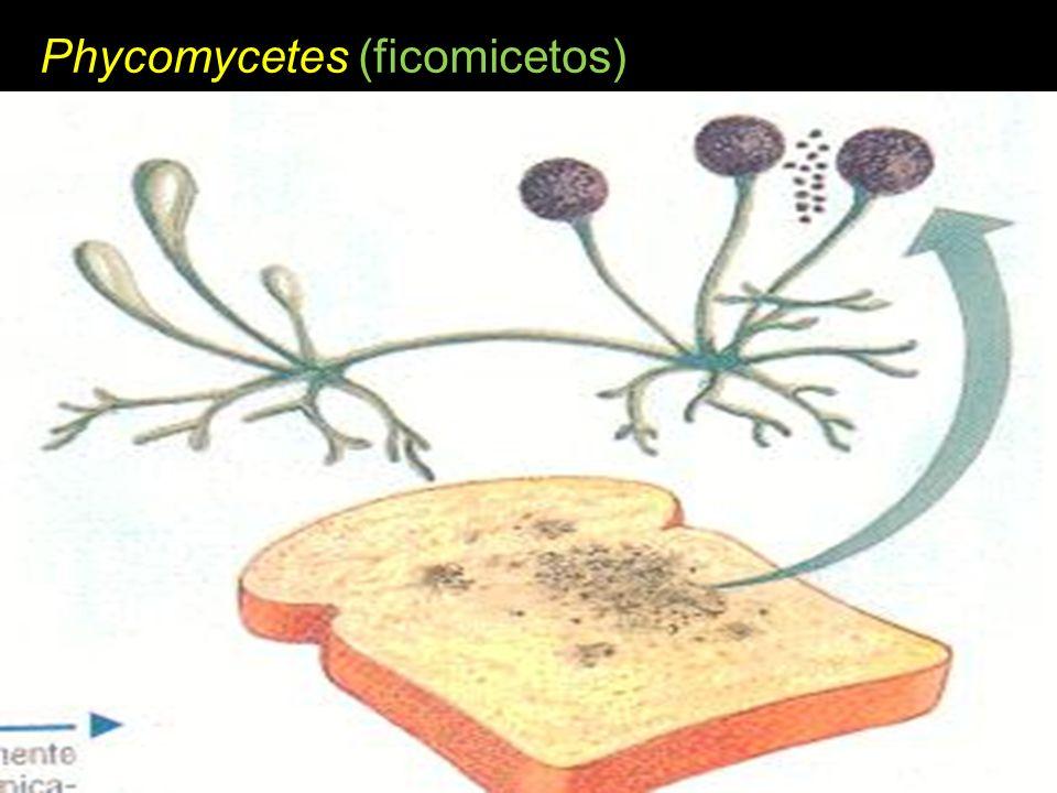 Phycomycetes (ficomicetos)