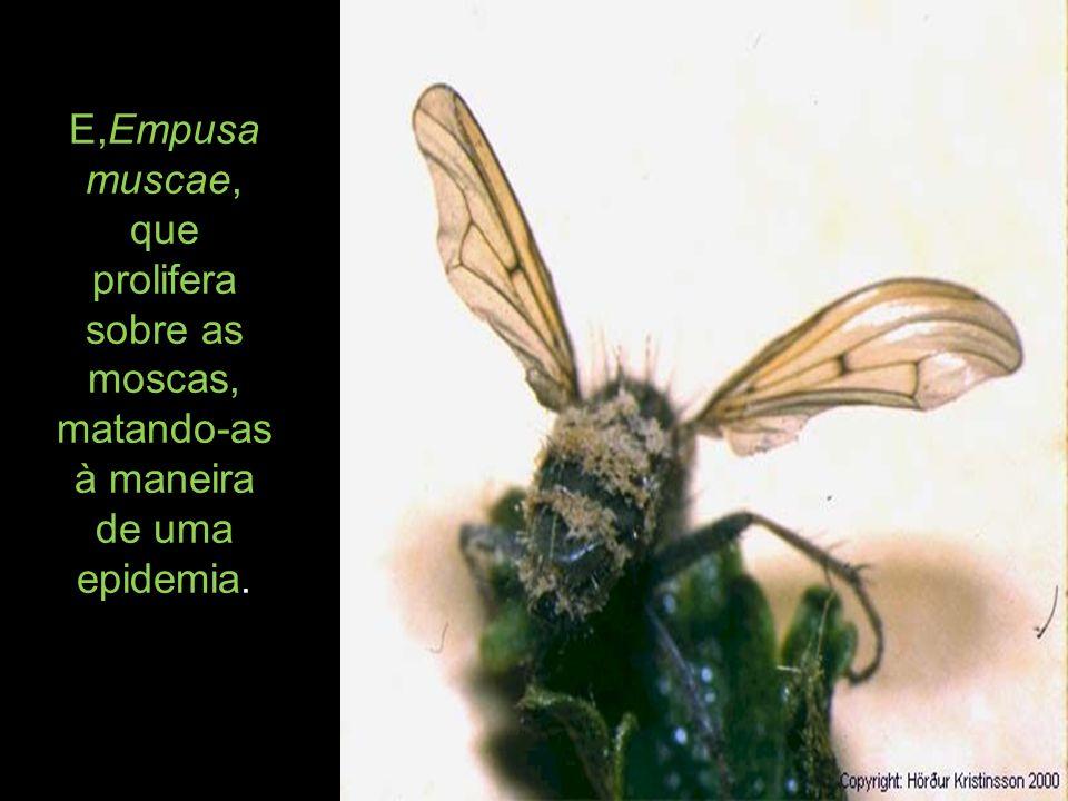 E,Empusa muscae, que prolifera sobre as moscas, matando-as à maneira de uma epidemia.