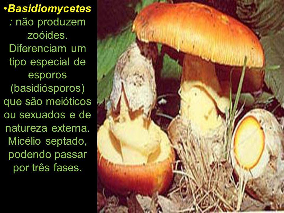 Basidiomycetes : não produzem zoóides. Diferenciam um tipo especial de esporos (basidiósporos) que são meióticos ou sexuados e de natureza externa. Mi