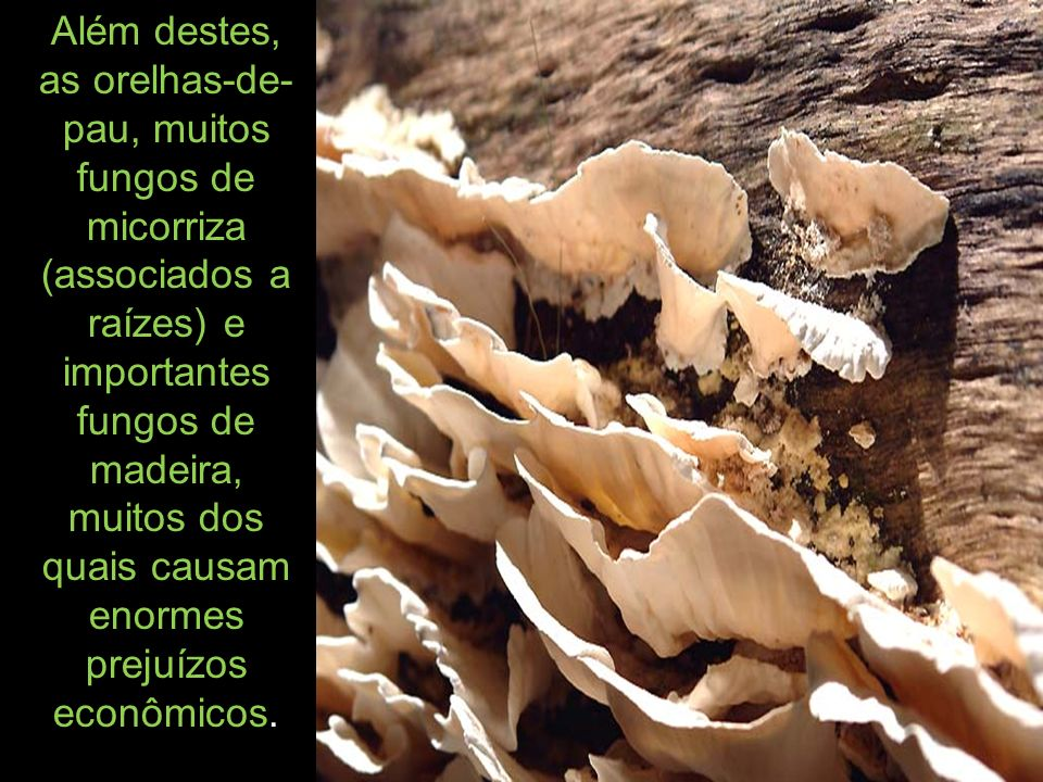 Além destes, as orelhas-de- pau, muitos fungos de micorriza (associados a raízes) e importantes fungos de madeira, muitos dos quais causam enormes prejuízos econômicos.