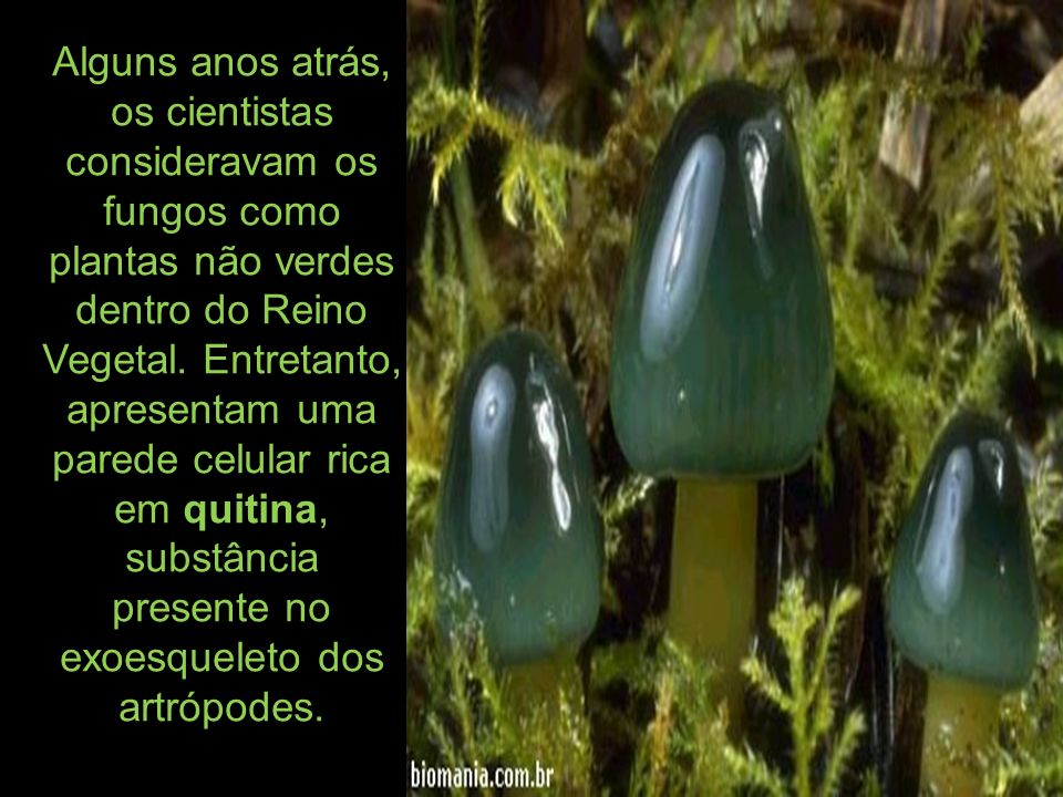 Alguns anos atrás, os cientistas consideravam os fungos como plantas não verdes dentro do Reino Vegetal. Entretanto, apresentam uma parede celular ric