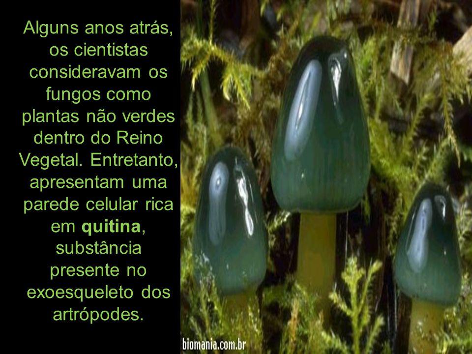 *Deuteromycetes (deuteromicetos).