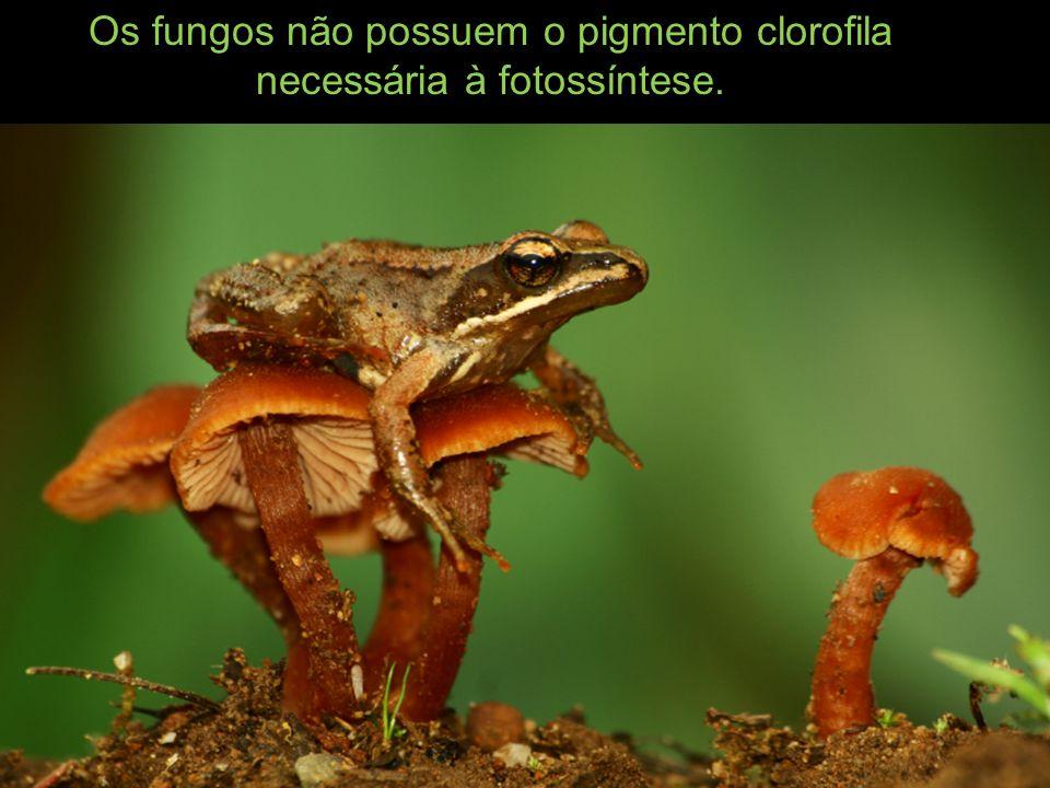 O corpo do fungo consiste em delicadas estruturas filamentosas chamadas hifas, as quais, quando em conjunto compacto, se dá o nome de micélio.