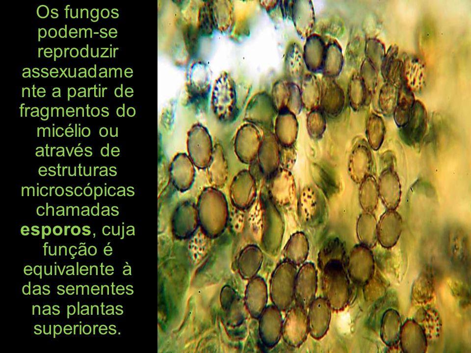 Os fungos podem-se reproduzir assexuadame nte a partir de fragmentos do micélio ou através de estruturas microscópicas chamadas esporos, cuja função é equivalente à das sementes nas plantas superiores.