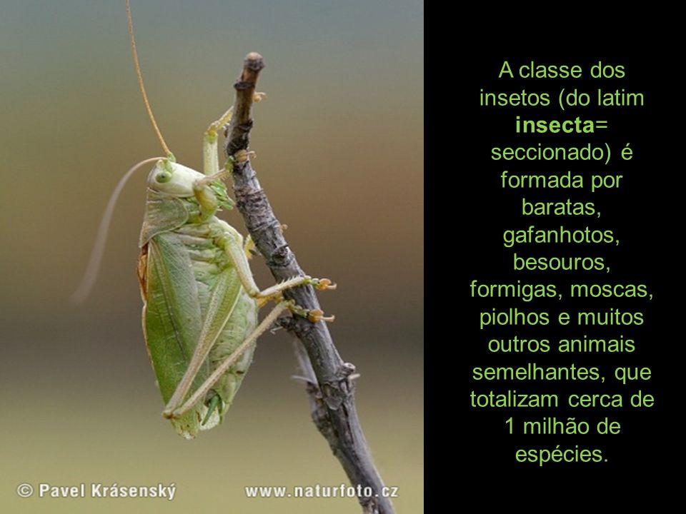 A classe dos insetos (do latim insecta= seccionado) é formada por baratas, gafanhotos, besouros, formigas, moscas, piolhos e muitos outros animais sem