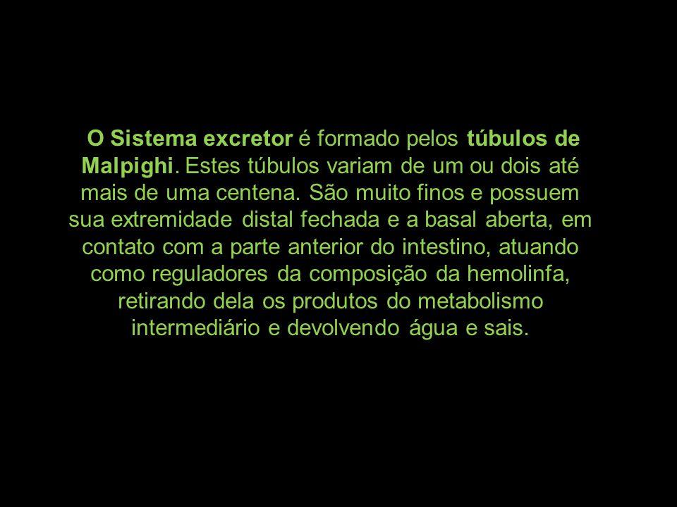 O Sistema excretor é formado pelos túbulos de Malpighi. Estes túbulos variam de um ou dois até mais de uma centena. São muito finos e possuem sua extr