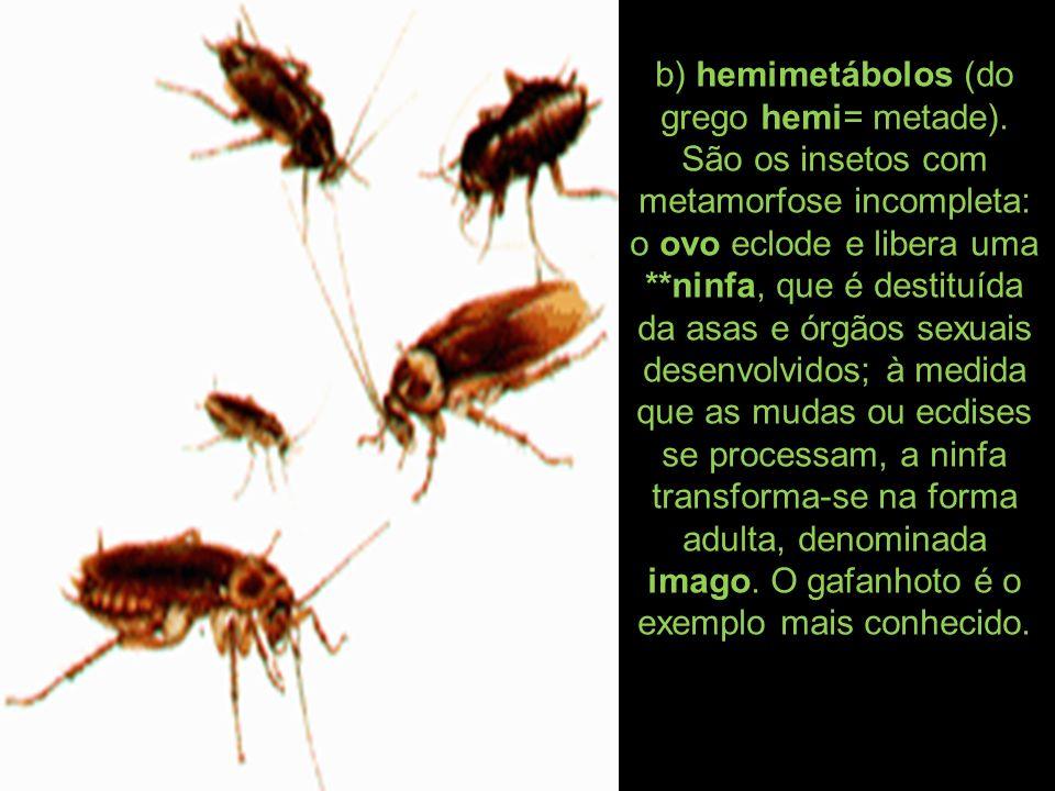 b) hemimetábolos (do grego hemi= metade). São os insetos com metamorfose incompleta: o ovo eclode e libera uma **ninfa, que é destituída da asas e órg
