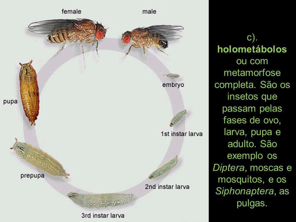 c). holometábolos ou com metamorfose completa. São os insetos que passam pelas fases de ovo, larva, pupa e adulto. São exemplo os Diptera, moscas e mo