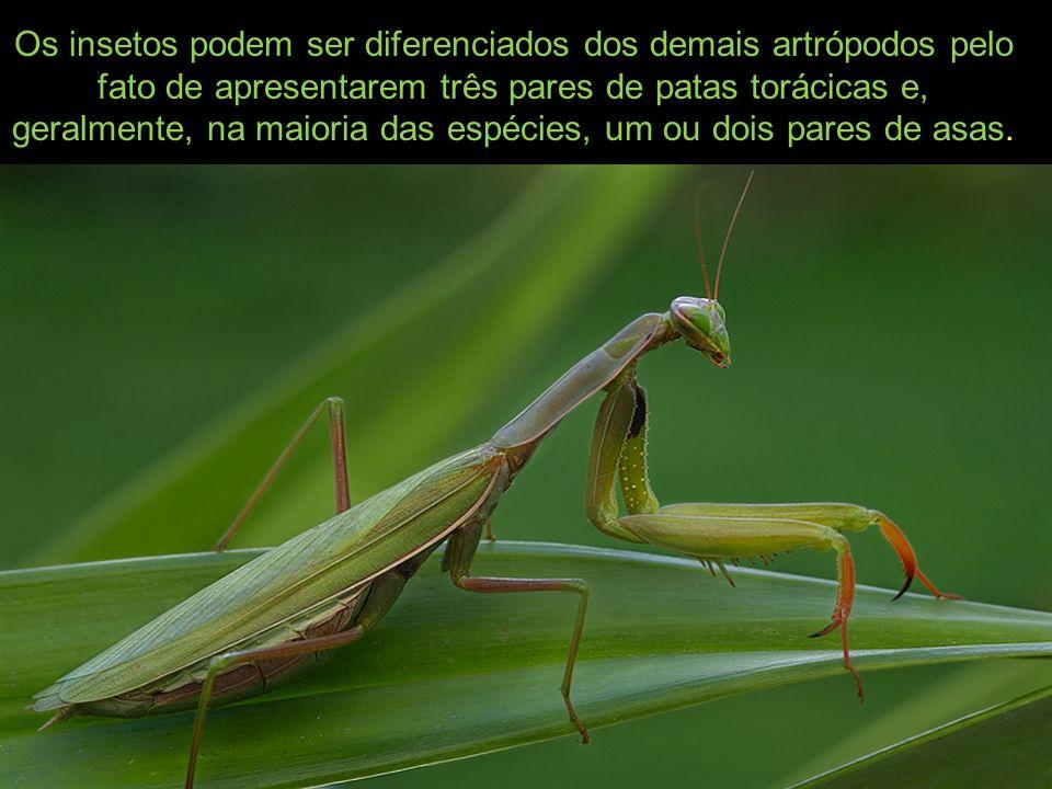 Os insetos podem ser diferenciados dos demais artrópodos pelo fato de apresentarem três pares de patas torácicas e, geralmente, na maioria das espécie