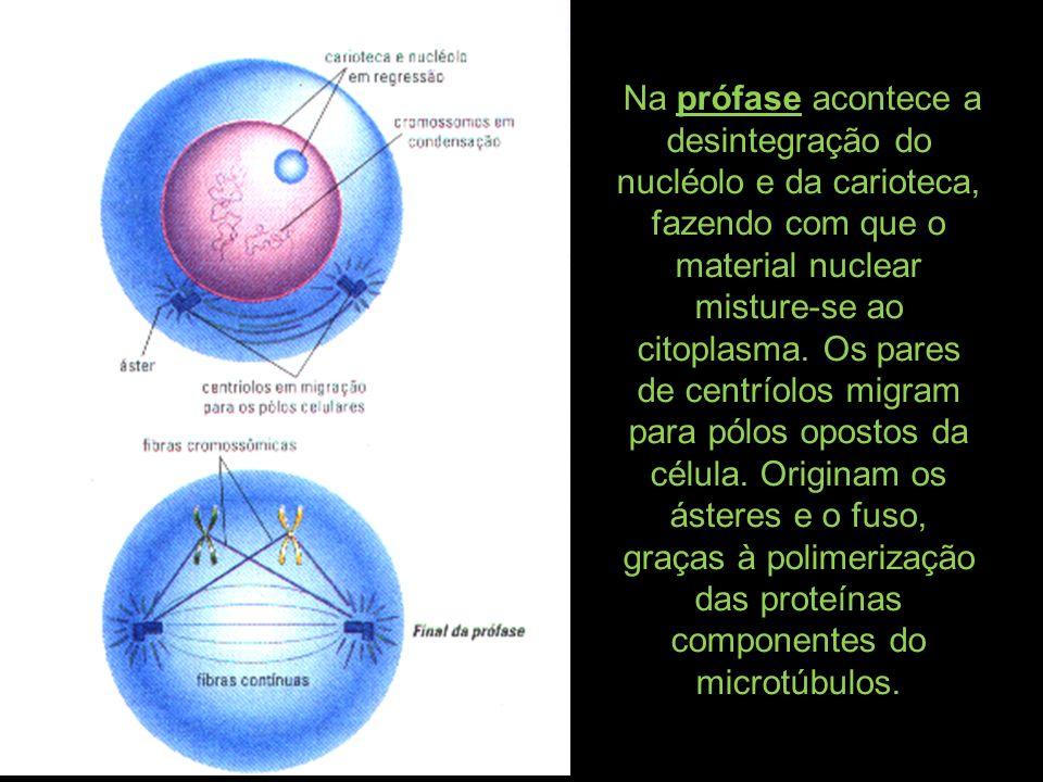 Na prófase acontece a desintegração do nucléolo e da carioteca, fazendo com que o material nuclear misture-se ao citoplasma. Os pares de centríolos mi