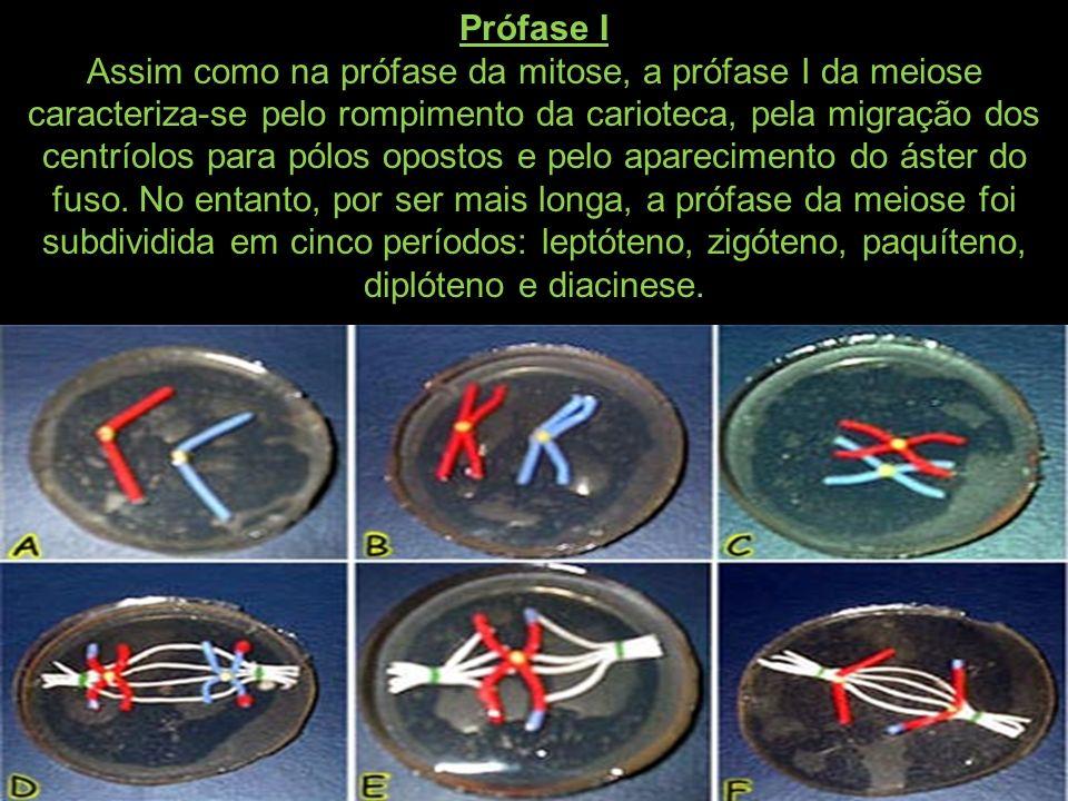 Prófase I Assim como na prófase da mitose, a prófase I da meiose caracteriza-se pelo rompimento da carioteca, pela migração dos centríolos para pólos