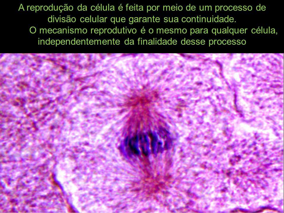 A reprodução da célula é feita por meio de um processo de divisão celular que garante sua continuidade. O mecanismo reprodutivo é o mesmo para qualque