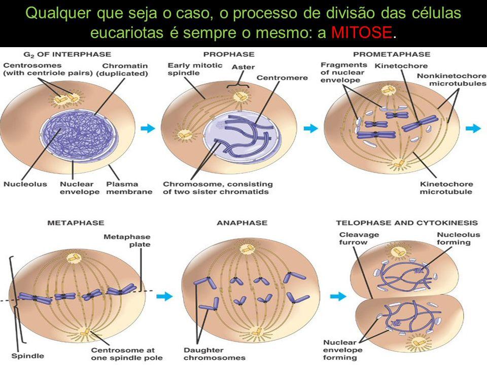 Qualquer que seja o caso, o processo de divisão das células eucariotas é sempre o mesmo: a MITOSE.