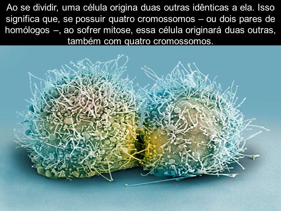 Ao se dividir, uma célula origina duas outras idênticas a ela. Isso significa que, se possuir quatro cromossomos – ou dois pares de homólogos –, ao so