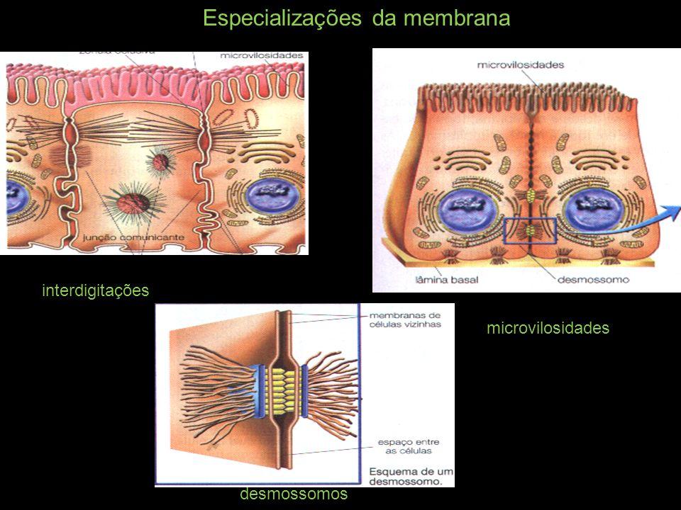Especializações da membrana interdigitações desmossomos microvilosidades