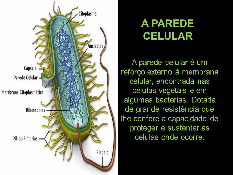 A parede celular é um reforço externo à membrana celular, encontrada nas células vegetais e em algumas bactérias. Dotada de grande resistência que lhe