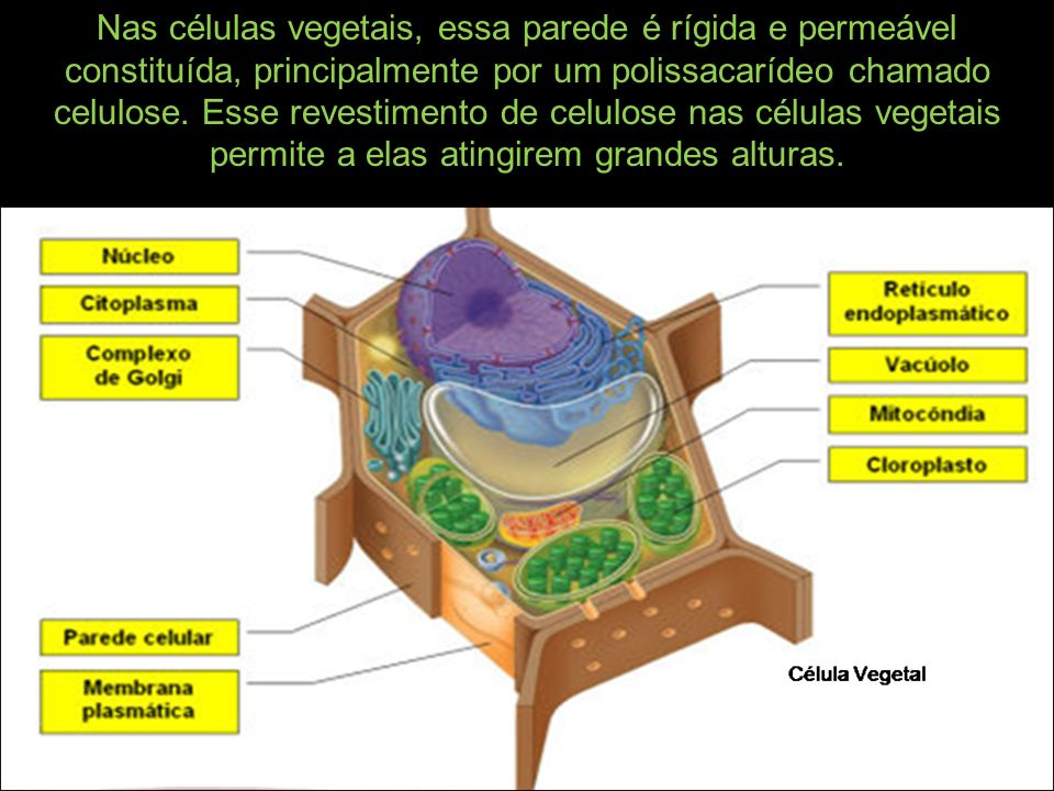 Nas células vegetais, essa parede é rígida e permeável constituída, principalmente por um polissacarídeo chamado celulose. Esse revestimento de celulo