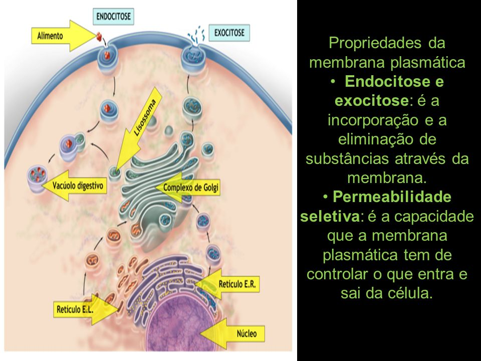 Propriedades da membrana plasmática Endocitose e exocitose: é a incorporação e a eliminação de substâncias através da membrana. Permeabilidade seletiv