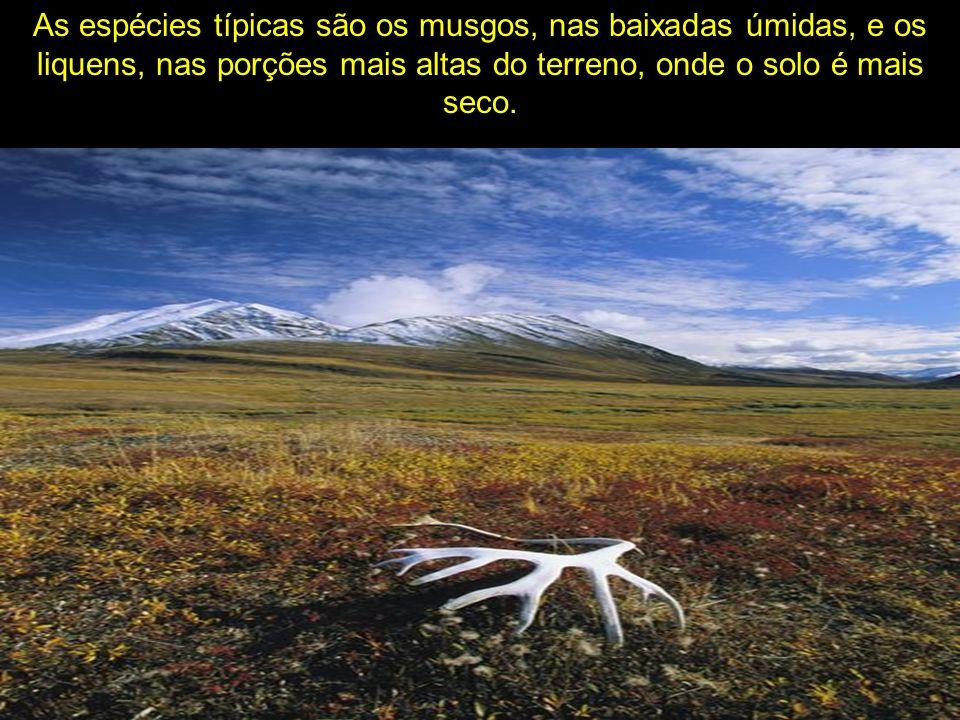 As espécies típicas são os musgos, nas baixadas úmidas, e os liquens, nas porções mais altas do terreno, onde o solo é mais seco.