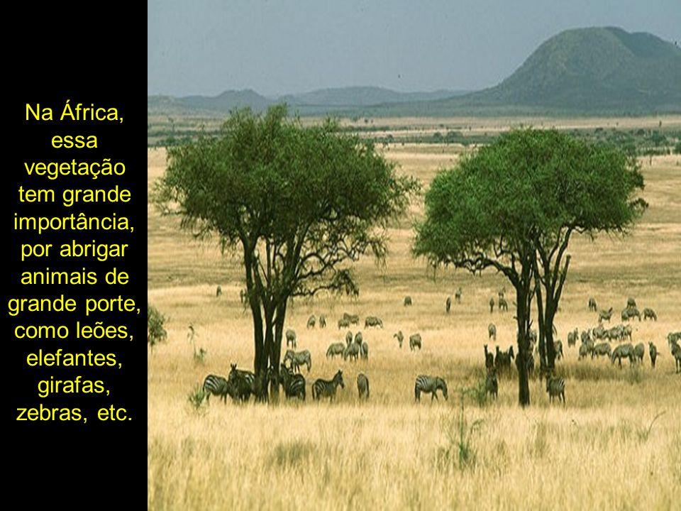 Na África, essa vegetação tem grande importância, por abrigar animais de grande porte, como leões, elefantes, girafas, zebras, etc.