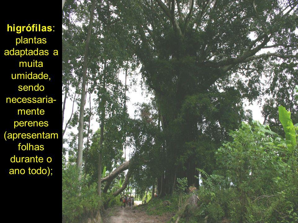 higrófilas: plantas adaptadas a muita umidade, sendo necessaria- mente perenes (apresentam folhas durante o ano todo);