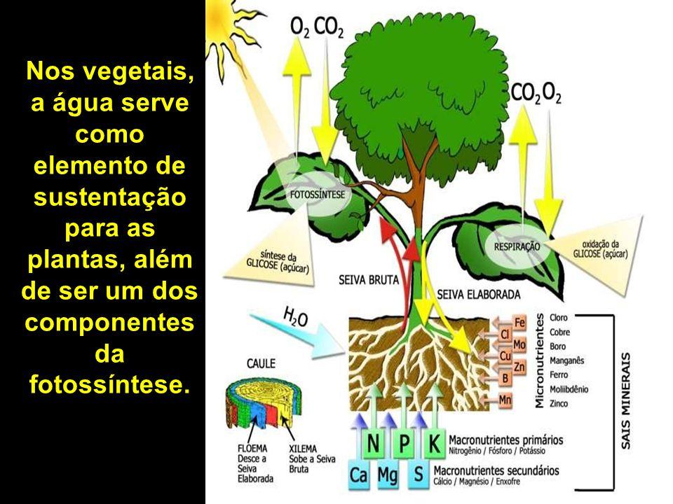 Nos vegetais, a água serve como elemento de sustentação para as plantas, além de ser um dos componentes da fotossíntese.