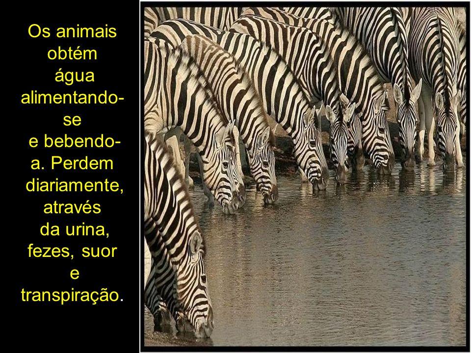 Os animais obtém água alimentando- se e bebendo- a. Perdem diariamente, através da urina, fezes, suor e transpiração.
