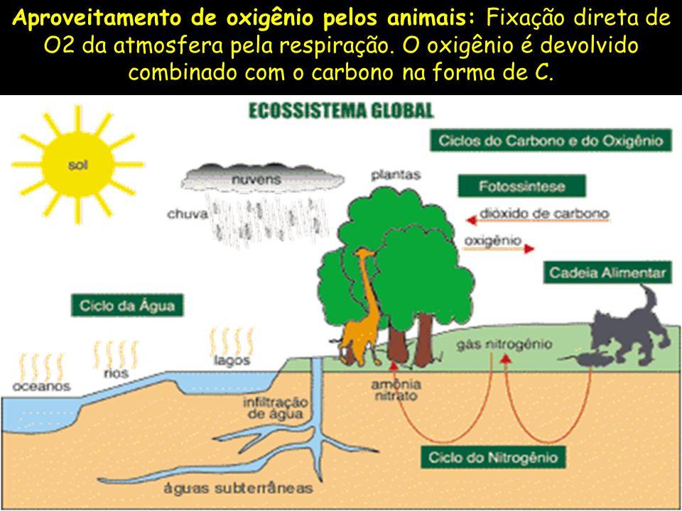 Aproveitamento de oxigênio pelos animais: Fixação direta de O2 da atmosfera pela respiração. O oxigênio é devolvido combinado com o carbono na forma d
