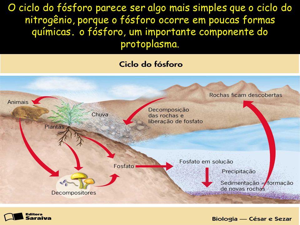 O ciclo do fósforo parece ser algo mais simples que o ciclo do nitrogênio, porque o fósforo ocorre em poucas formas químicas. o fósforo, um importante