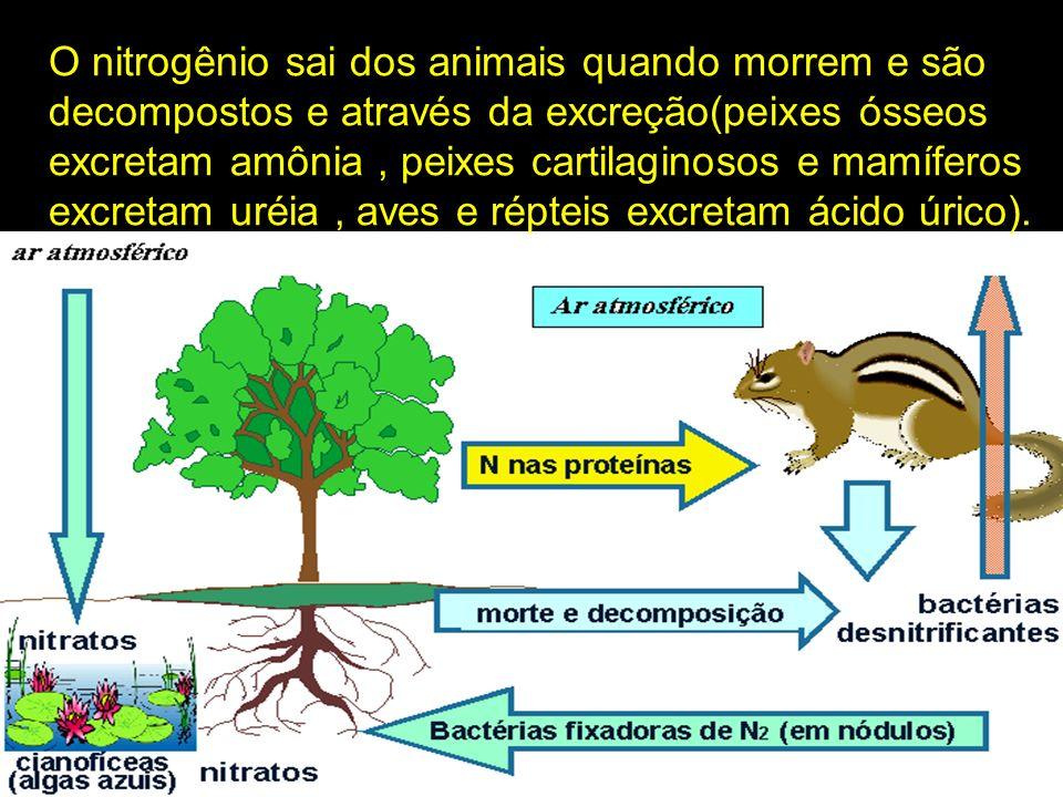 O nitrogênio sai dos animais quando morrem e são decompostos e através da excreção(peixes ósseos excretam amônia, peixes cartilaginosos e mamíferos ex