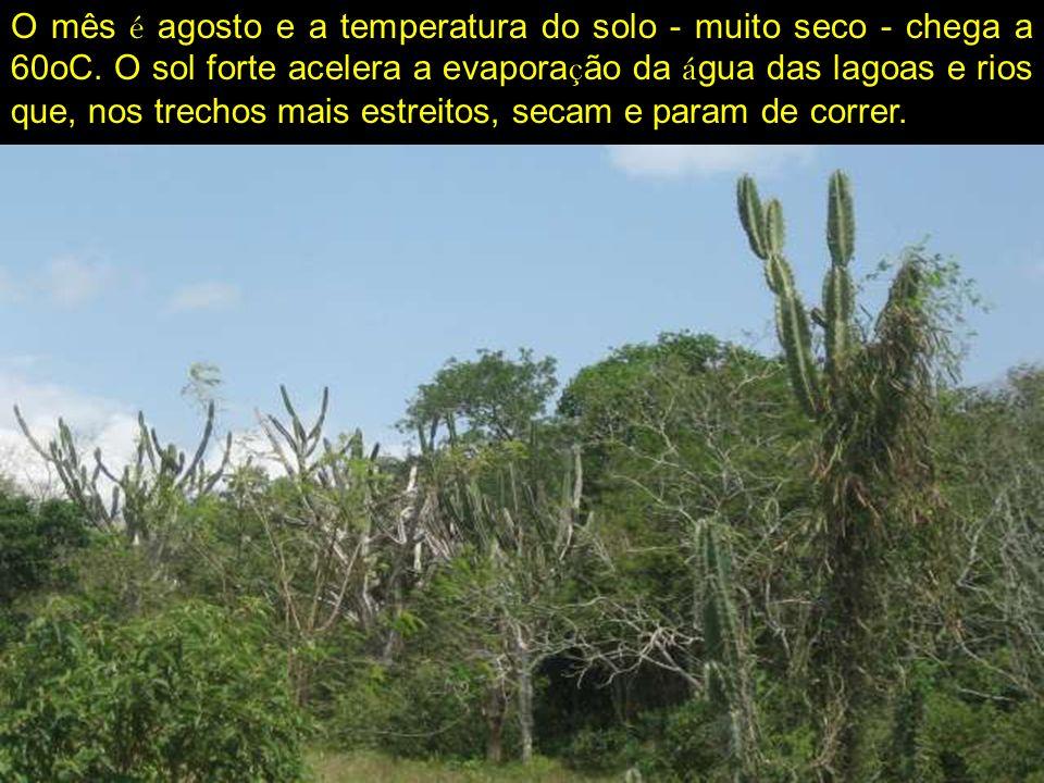 O cen á rio á rido é uma descri ç ão da Caatinga - que na l í ngua ind í gena quer dizer Mata Branca - durante o prolongado per í odo de seca correspondente ao inverno.