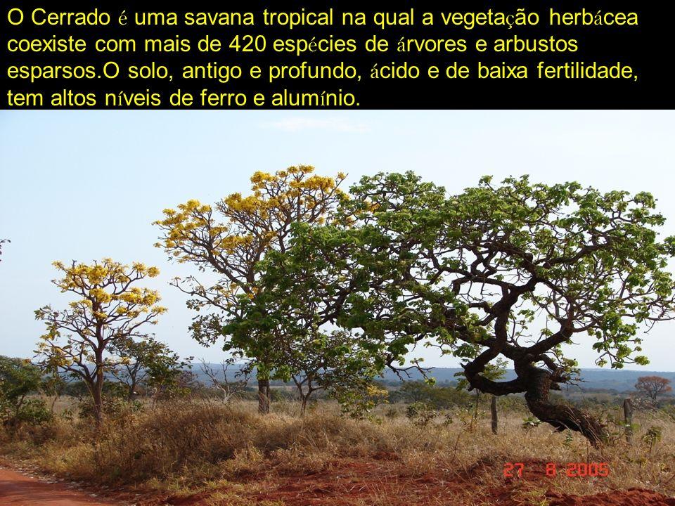O Cerrado é uma savana tropical na qual a vegeta ç ão herb á cea coexiste com mais de 420 esp é cies de á rvores e arbustos esparsos.O solo, antigo e