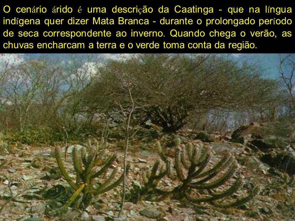 O cen á rio á rido é uma descri ç ão da Caatinga - que na l í ngua ind í gena quer dizer Mata Branca - durante o prolongado per í odo de seca correspo