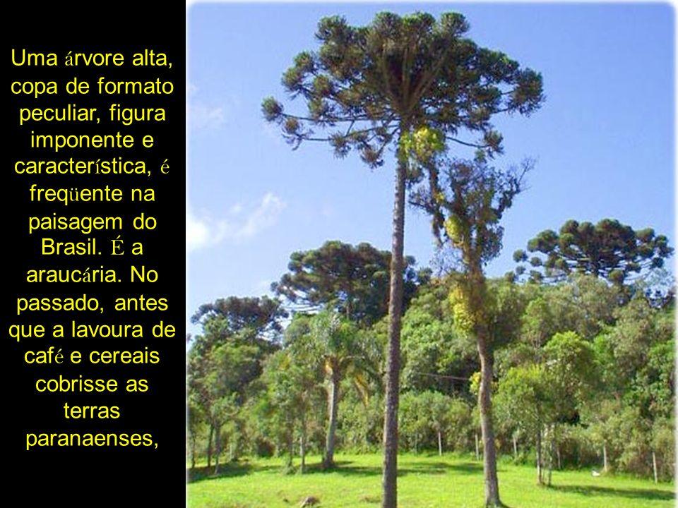 Uma á rvore alta, copa de formato peculiar, figura imponente e caracter í stica, é freq ü ente na paisagem do Brasil. É a arauc á ria. No passado, ant