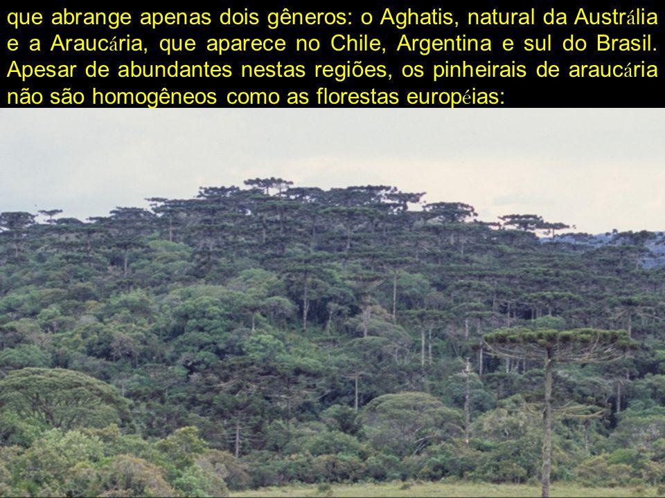 que abrange apenas dois gêneros: o Aghatis, natural da Austr á lia e a Arauc á ria, que aparece no Chile, Argentina e sul do Brasil. Apesar de abundan