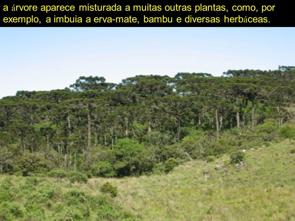 a á rvore aparece misturada a muitas outras plantas, como, por exemplo, a imbuia a erva-mate, bambu e diversas herb á ceas.