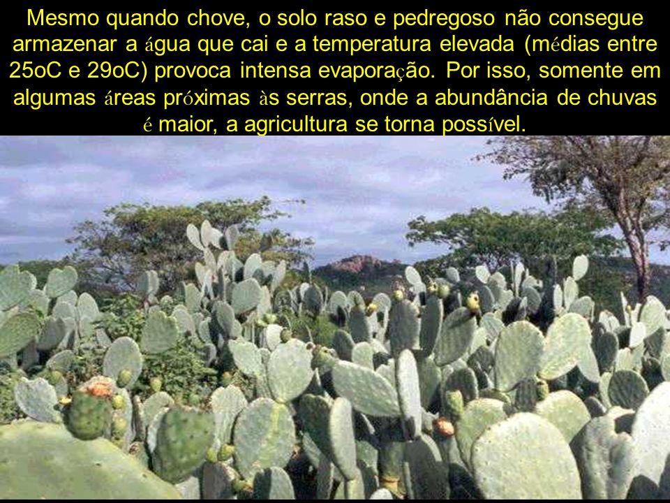 que abrange apenas dois gêneros: o Aghatis, natural da Austr á lia e a Arauc á ria, que aparece no Chile, Argentina e sul do Brasil.