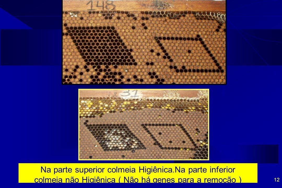 12 Na parte superior colmeia Higiênica.Na parte inferior colmeia não Higiênica ( Não há genes para a remoção )