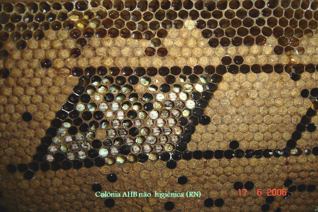 Colônia AHB não higiênica (RN) QUADRO DE CRIA OPERCULADA DE COLÕNIA NÃO HIGIÊNICA. Não apresenta genes para remoção